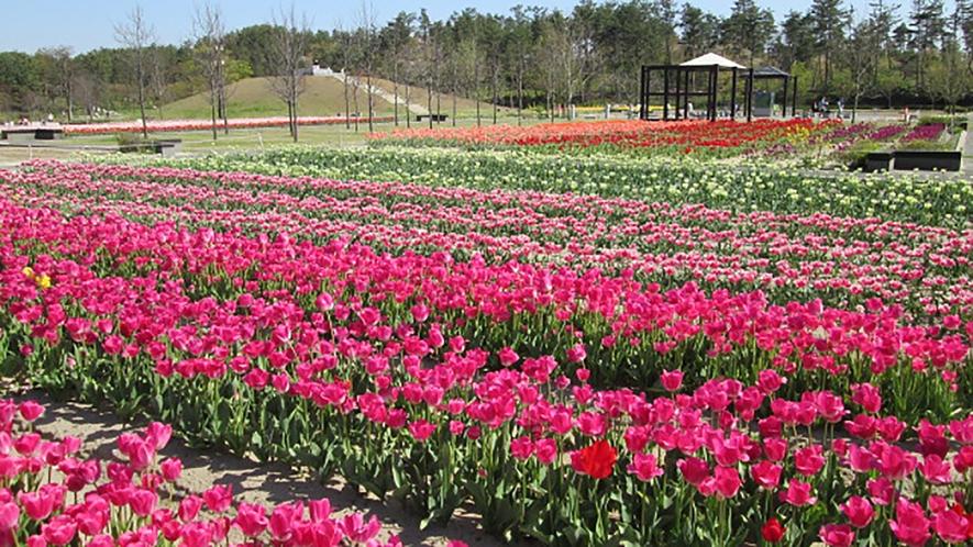 *[紫雲寺記念公園/チューリップ]春・例年見頃は5月上旬