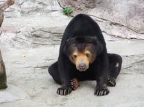 天王寺動物園 マレーグマ