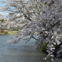 りんどう湖ファミリー牧場の桜