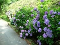 駐車場の紫陽花