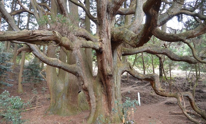 観光、高森殿の杉