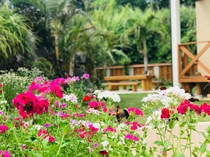 春に咲く花フロックス