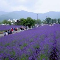【ラベンダー 八木崎公園】 6月中旬から7月まで