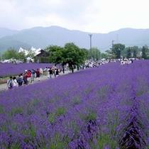 【ラベンダー】 八木崎公園 6月中旬から7月まで