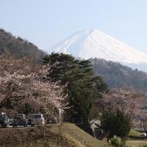 【お花見】河口湖での桜は例年4月中旬頃が見ごろです。写真は当館近くで撮影