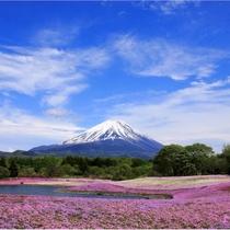 【富士山ギャラリー】芝桜と富士山