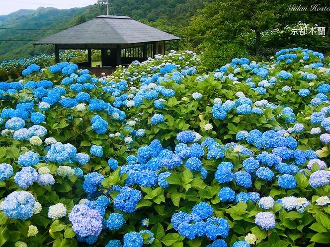 京都の紫陽花を花見ししょう♪