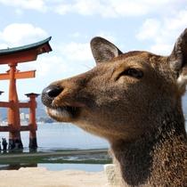 宮島の鹿たち。宮島には鹿がたくさんいます。餌をあげることはできませんのでご注意ください。