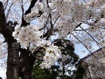 シンボルツリーの桜