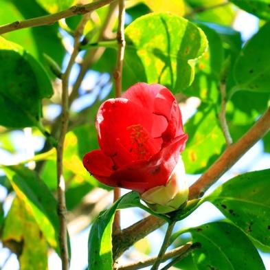 """【TRY!九州】""""ツバキロード""""の椿と絶景の島、甑島の自然を体験☆ガイド付きトレッキングプラン♪"""