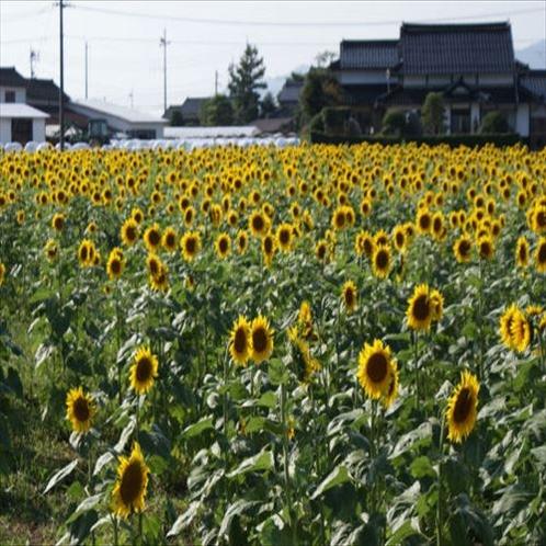◆斐川のひまわり園