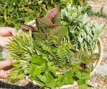 おくで農園で採れる山菜