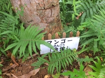 【敷地内の樹木】 マンゴー