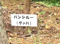 【敷地内の樹木】  バンシルー(グアバ)