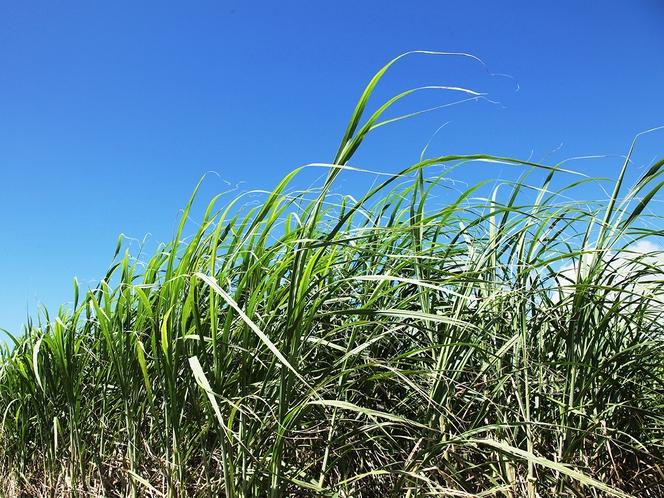 自然豊かな南城市エリア、さとうきび畑も。