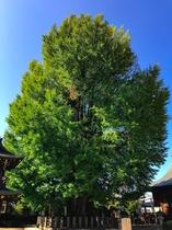 醫王山 飛騨国分寺の大銀杏