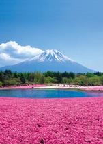 フジザクラと富士山