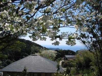 本館裏展望休憩所からの大島桜と太平洋の遠望