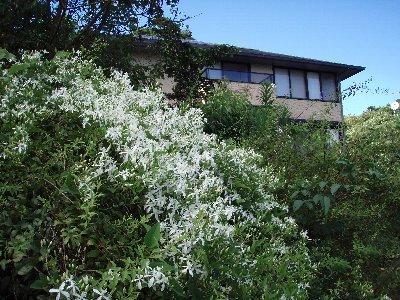 仙人草の背後に旅館建物が見えます。