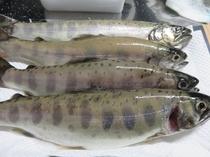 【食材例】山女魚