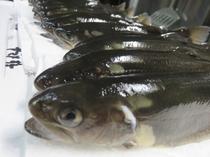 【食材例】岩魚
