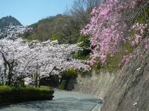 本館【兆楽】坂道の桜