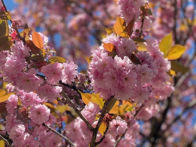 満開のぼたん桜(4/26現在)