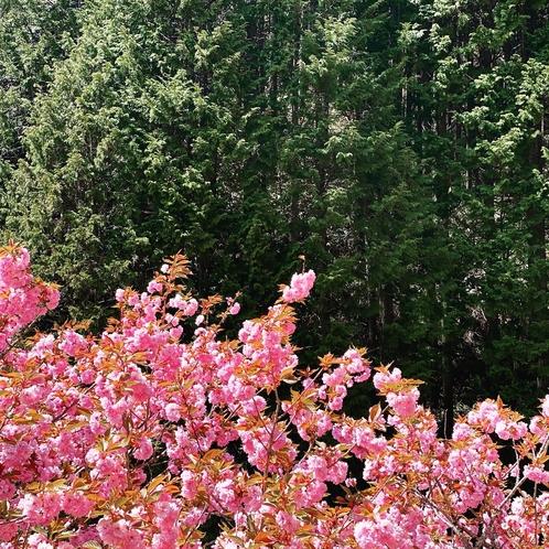 満開のぼたん桜と新緑(4/26現在)