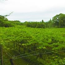 ◆ぶどう畑◆