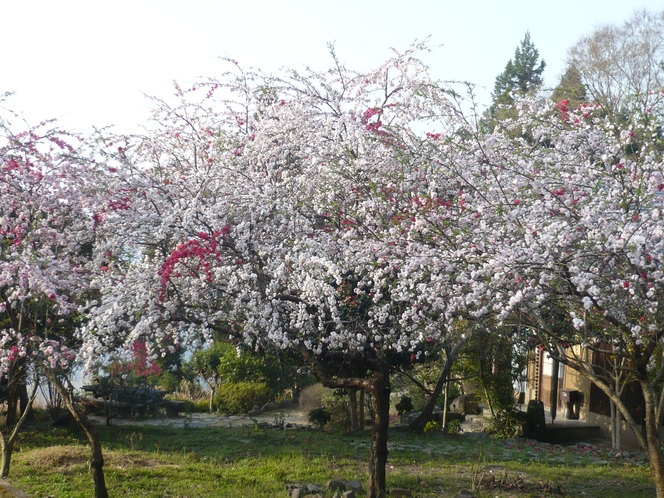 庭に咲く満開の枝垂れ桃