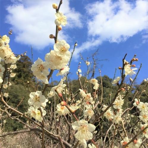城山、梅の花