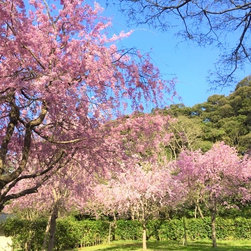 城山、枝垂れ桜