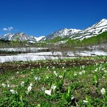 栂池自然園の水芭蕉湿原。