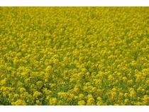 南房総の春の代名詞!菜の花畑は一面黄色のじゅうたんのようです。