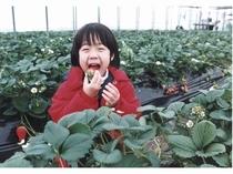 イチゴの季節に大人気! 大人も子供も楽しめる イチゴ狩り  1月~5月頃まで