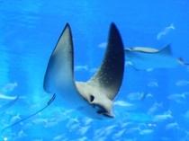 飛ぶように泳ぐトビエイ(美ら海水族館)
