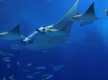 飛ぶように泳ぐマンタとトビエイの群れ(美ら海水族館)