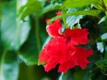 屋我地島に咲く花々、ハイビスカス