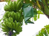 屋我地島で実っていたバナナ