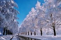 冬メタセコイヤ並木 メタセコイヤ並木は当館から車で約1時間。