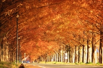 秋メタセコイヤ並木 両端に植えられた木々が繋がりまるでトンネルのように。