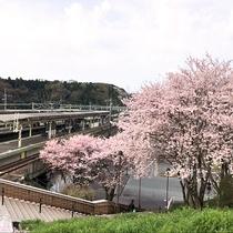 春になると、おごと温泉駅からホテルへ向かう途中も桜がお出迎えしてくれます。