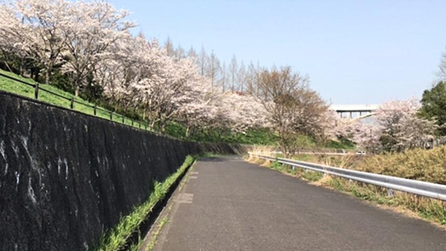 桜並木:ホテルから徒歩10分圏内にも桜の見どころスポットがございます。
