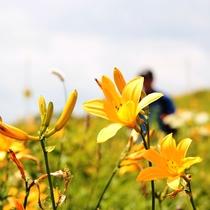 初夏のビーナスラインを彩る大輪の花!ニッコウキスゲ