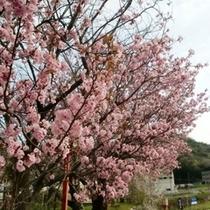 ホテル周辺の八重桜
