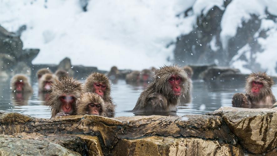 **【スノーモンキー】世界で唯一温泉に入るというニホンザルがくつろぐ姿を間近に見ることができます。