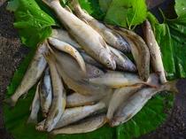 深山の魚ニッコウイワナ