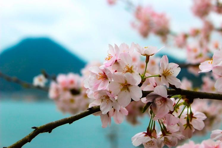 匂ヶ崎公園 桜