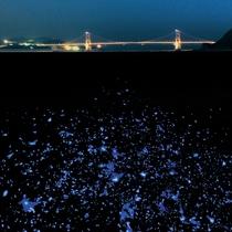 神秘的な輝きを放つ海ホタル