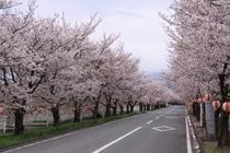 憩の桜並木(加賀美中条付近)